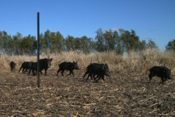 DAMAGE FERAL PIGS DO TO YOUR HIP POCKET